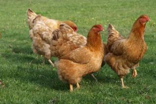 Curso de introducción a la avicultura artesanal
