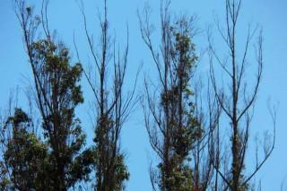 Ence prevé obtener plantas de eucalipto con tolerancia a la plaga del gorgojo