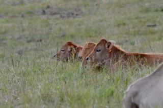 Repetición de las cotizaciones del ganado en Amio