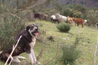 Convocadas las ayudas para prevenir los daños del jabalí y del lobo en los cultivos y en el ganado