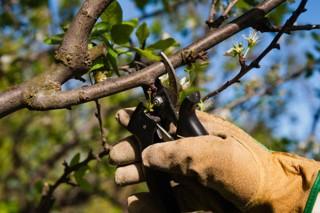 Curso básico de poda de frutales en Chantada