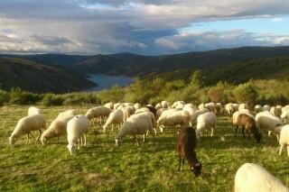 Las ayudas por la Covid dejan fuera al 95% de las granjas gallegas de ovino y caprino que, por tamaño, podrían cobrarlas