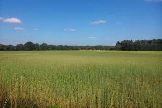Presentan la primera harina ecológica de trigo Callobre