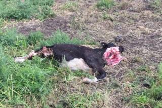 Convocadas las ayudas para compensar los daños del lobo en la ganadería