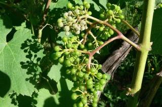Recomendaciones de Paco Rego para el combate de las enfermedades fúngicas en viñedo