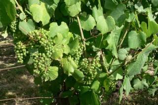 """Aconsejan """"máxima precaución"""" en el viñedo al aplicar fitosanitarios en días de calor"""
