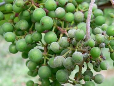 Avisan de la necesidad de tratar el viñedo contra el oídio