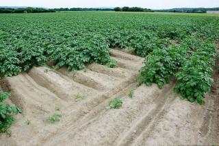 Los buenos precios animan a plantar más patata en A Limia