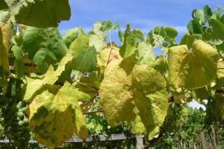 Avisos fitosanitarios en viñedo y patata