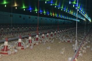 Granjas integradas en Avícola de Galicia acusan a la industria de penalizaciones aleatorias en los pagos