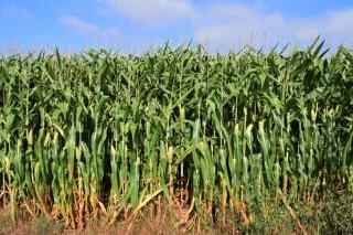 Prevén que la cosecha de maíz forrajero baje un 10% pero con buena calidad