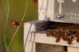 Inician un estudio sobre el impacto de la Vespa velutina en los insectos polinizadores