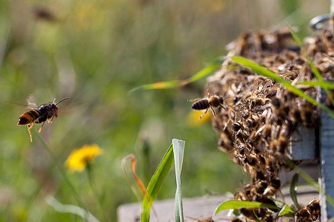 ¿Cómo prepararse para reducir los daños de la vespa velutina en la colmena?