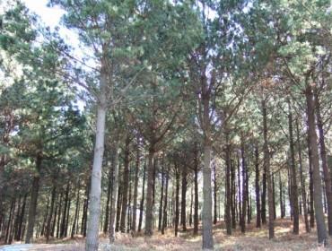 Las amenazas climáticas y de patologías que enfrentan los pinares urgen a acelerar su mejora genética