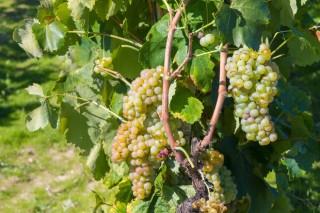 Enervin®, la nueva familia de productos para combatir el mildiu en viñedo