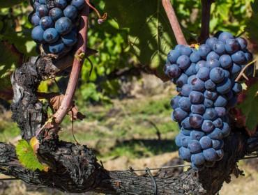 Comprueban que la presencia de residuos de fungicidas en la uva altera el aroma del vino