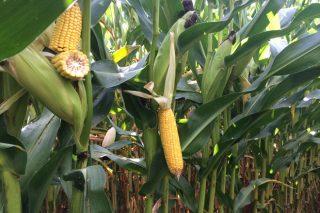 5 claves para acertar en la fertilización del maíz forrajero