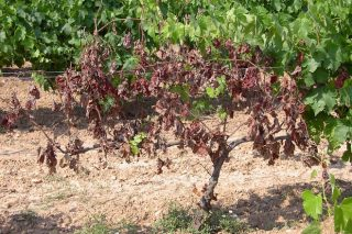 BASF presentará en Galicia el primer fungicida para enfermedades de la madera en viñedo