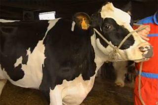 Dos ganaderías de Sarria y de Dumbría tienen las mejores terneras Frisonas de España