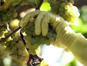 Últimas recomendaciones para el cuidado de la viña antes de la vendimia
