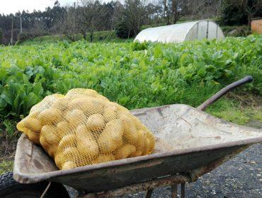 Polilla guatemalteca: Estos son los 9 municipios en los que la Xunta levanta la prohibición de cultivar patata