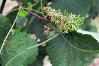 Advierten de que con las tormentas e multiplica el riesgo de mildiu en el viñedo