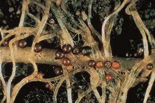 Recomendaciones para el control del nematodo de la patata