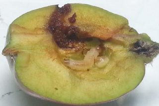 Recomiendan tratar contra el gusano de las manzanas y aclarar los frutos
