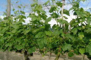 Programa de la I Semana Vitivinícola de Galicia y del I Encuentro de Viticultura Galicia-Norte de Portugal