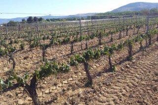 Nueva línea de ayudas de la Xunta a productores de uva, castaña y patata afectados por las heladas y el granizo