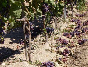 ¿Cómo solicitar la ayuda para vendimia en verde y cuanto recibirá el viticultor en cada DO gallega?