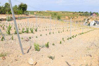 Abierto el plazo para solicitar autorizaciones de plantación de viñedo