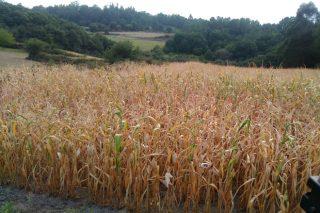 Estrategias para afrontar las sequías en maíz