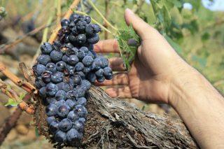 Recomendaciones de la Evega sobre los tratamientos en la viña tras el granizo