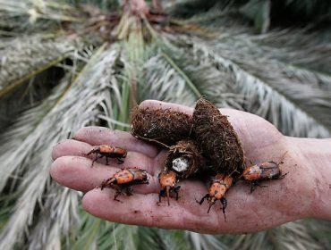 Cómo hacer frente al picudo rojo, la plaga que está asolando palmeras en toda Galicia