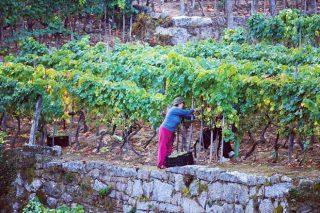 Cosecheros de O Ribeiro estudian crear una cooperativa para comercializar su vino