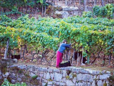 La Denominación de Origen Ribeiro inicia un estudio de los costes de producción de la uva