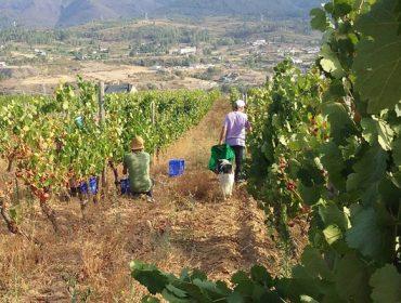 Valdeorras finaliza la vendimia con menor producción de uva pero de «elevadísima calidad»