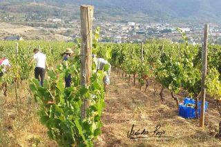 Concluye con datos muy positivos la vendimia en Valdeorras: Más de 7 millones de kilos de uva