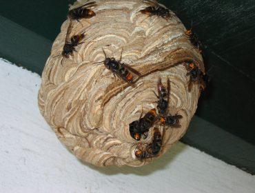 Recomendaciones de trampeo de reinas de vespa asiática y de la polilla del boj