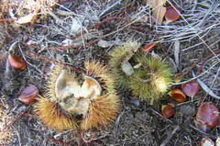 Colaboración entre productores de castañas y cazadores por los daños del jabalí