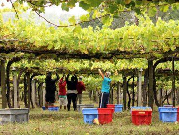 Vendimia 2021: Galicia prevé una cosecha récord de más de 73 millones de kilos de uva
