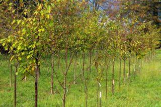 Los cerezos gallegos 'top' llegan al monte