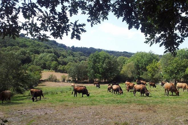 El Sindicato Labrego pide mantener las ayudas por la Covid para la ganadería de carne