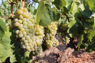 Curso en Ribadumia de elaboración de vinos y derivados