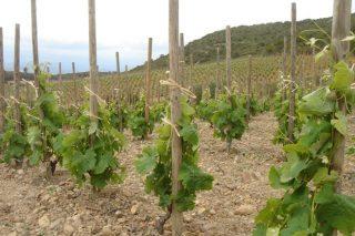 Una bodega de La Rioja acapara el 21% de las ayudas a la reestructuración del viñedo en Galicia