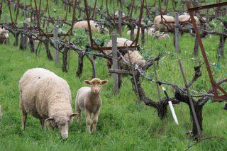 ¿Cómo hacer más sostenibles las producciones vitícolas?