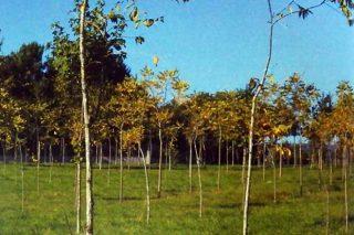 Plantaciones de nogal para producir madera, manejo y rentabilidad