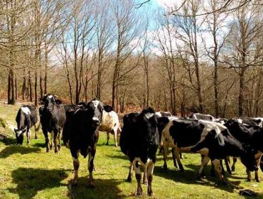Siete gráficas que explican los retos de la leche gallega