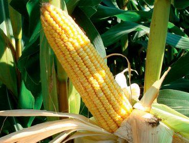 MaxiMaize, la combinación de híbridos de maíz para incrementar la calidad del ensilado